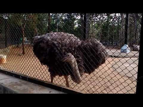 Ostrich (Neruppu kozhi) Fight