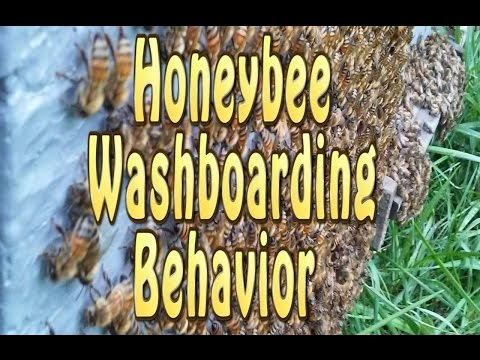 Honey Bees Washboarding Behavior (Cleaning?)