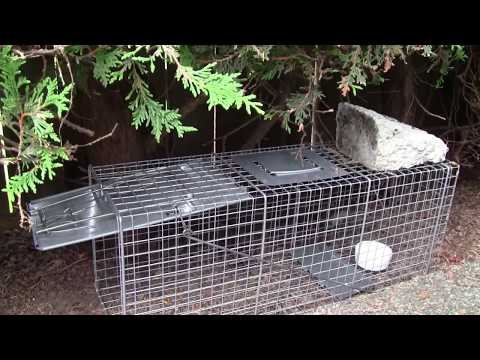 Use Havahart Live Animal Trap to Bait and Catch Raccoon, Groundhog, and other Nuisance Wildlife