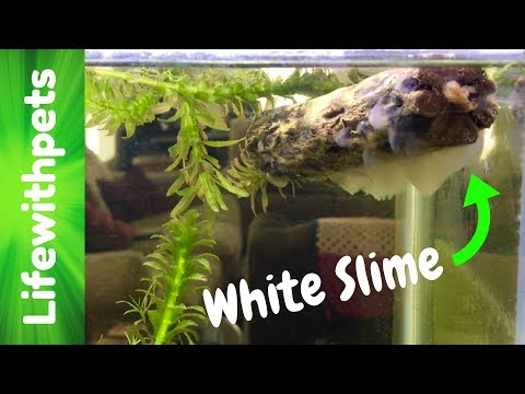 White Slime In Our Betta Fish Tank