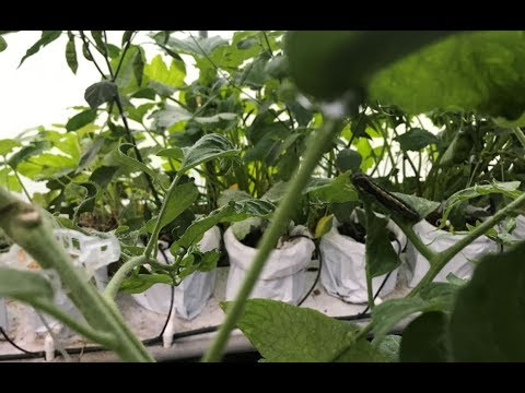 How to get rid of tomato plant eating insects
