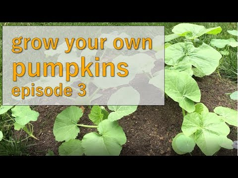 How To Thin Your Pumpkin Vines - How to Grow Pumpkins - Summer 2017, Episode 3
