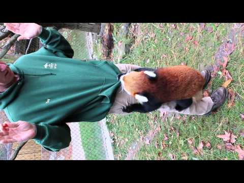 When Red Pandas Attack