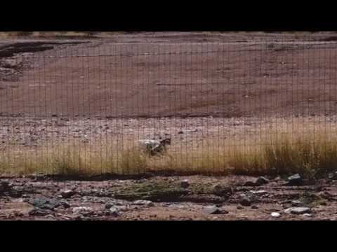 Desert tortoise pacing along a fence