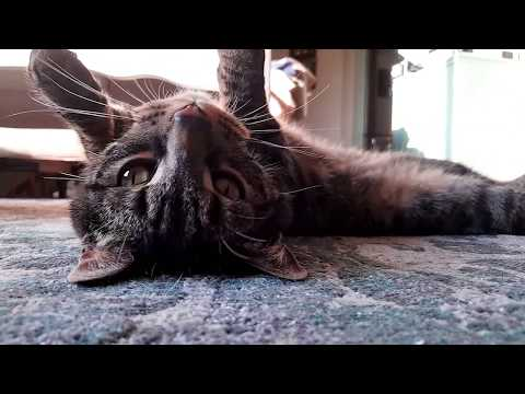 Kitten and Cat Snuggle With Guy Laying on Floor