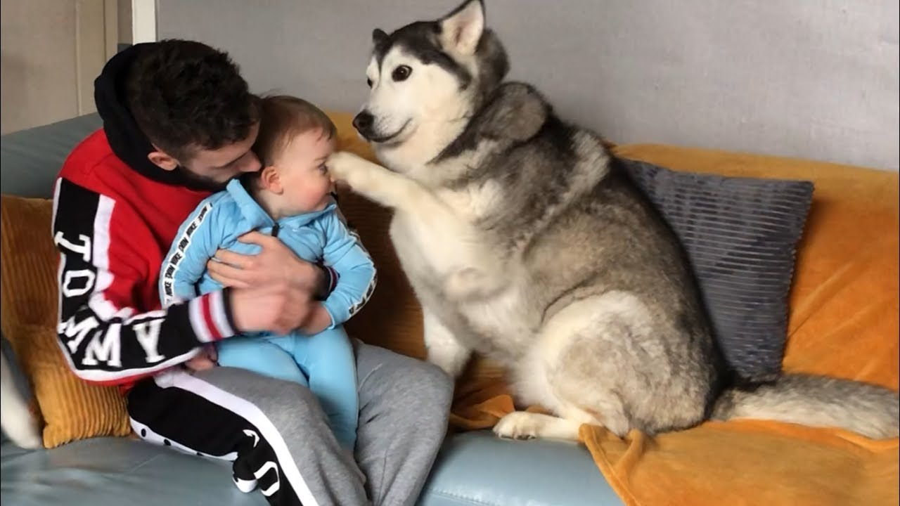 Husky Accidentally Hurts My Baby But Says Sorry And Makes Everything Okay!!... [READ DESCRIPTION]