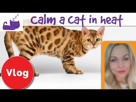 How to calm a cat in heat