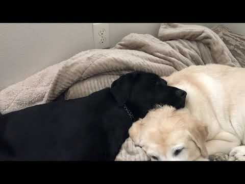 Guide dog Arabella and retired guide Antonia are becoming best friends!