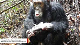 Cannibal chimpanzee seen eating newly born chimp for the first time