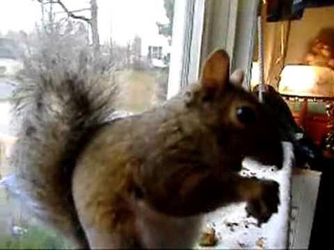 Very cute Squirrel eating Pumpkin