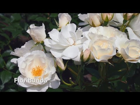 How to Grow Roses | Mitre 10 Easy As