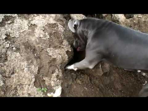 Cesar Millan Puppy Profiles: Junior