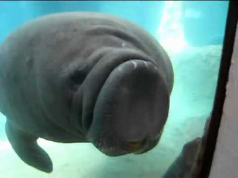 Manatee VS Glass