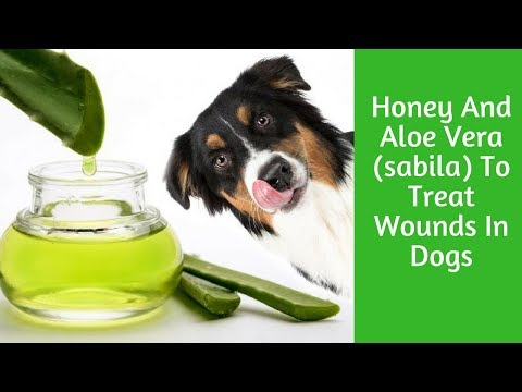 Honey And Aloe Vera (sabila) To Treat Wounds In Dogs