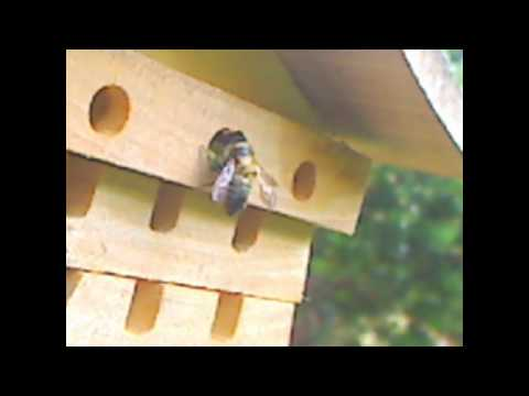 Leaf cutter bee making nest for eggs in drilled holes... Wildlife bees insect habitat