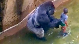 Internet FREAKS OUT Over Harambe the Gorilla  | What