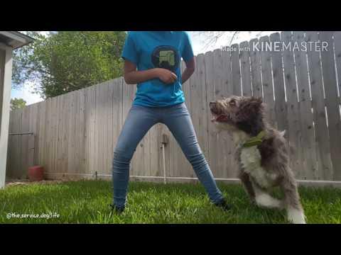 Service Dog Hazel Spring Tricks