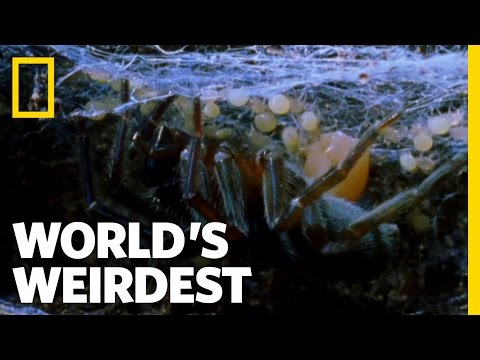 Mother-Eating Spiders | World's Weirdest