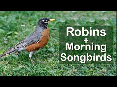 Robins and other Morning Songbirds