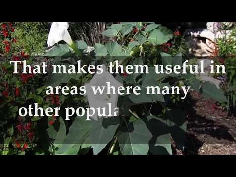 How to Grow Moonflower Plants