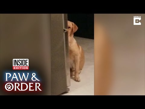 Paw & Order: Labrador Hides Behind Fridge After Other Dog Rips Apart Bedding