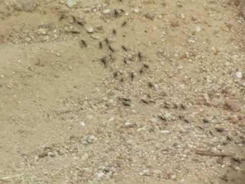 Termite Ants on a raid