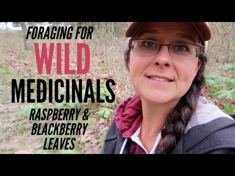 Spring Foraging for Medicinals!!! WILD Raspberry and Blackberry Leaves
