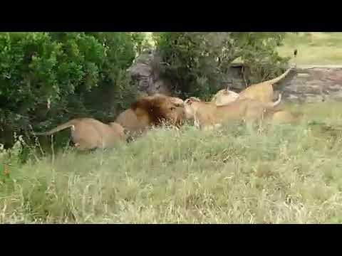 Lion fight in gujarat