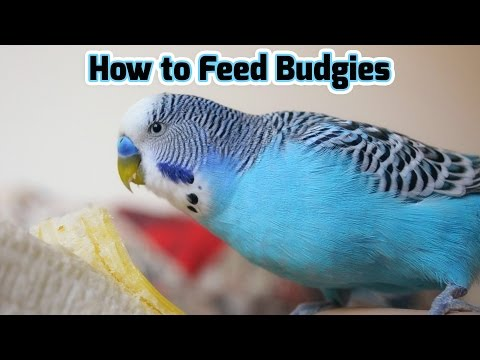 How to Feed Budgies | Choosing the Right Foods