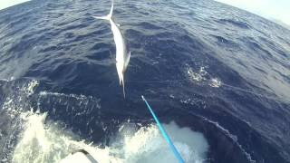 Black Marlin tournament near accident - very close shave