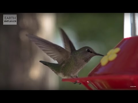 Hummingbirds In Slow Motion   BBC Earth