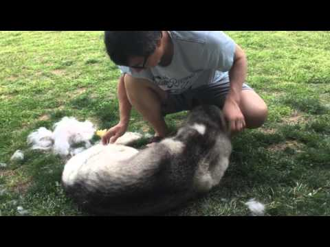 Husky shedding....the struggle is real