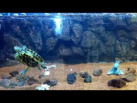 Salt Water Turtle in Aquarium