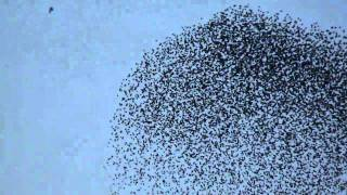 60.000 Starlings in Flight.mpg