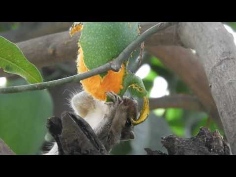 Squirrel  eating mango  on mango tree