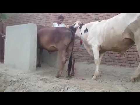 Xxx Mp4 Cow Sex Animals 3gp Sex