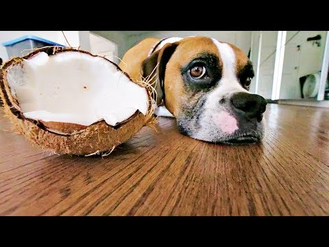 Coconut Oil is Good for Dogs, But What About Coconuts? 🐶🌴