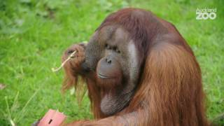 Zoo Tales - International Orangutan Day