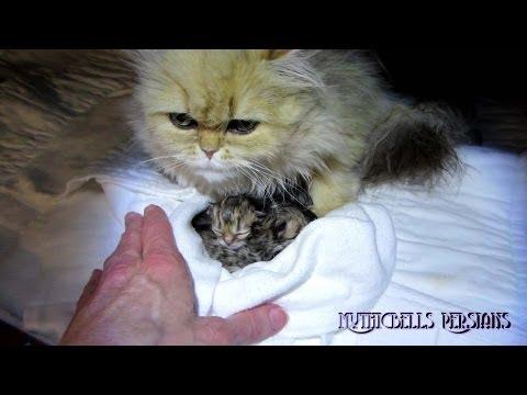 12 06 03 Persian kittens birth, the K Litter