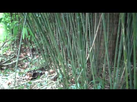 Creative maintenance - Bamboo pruning
