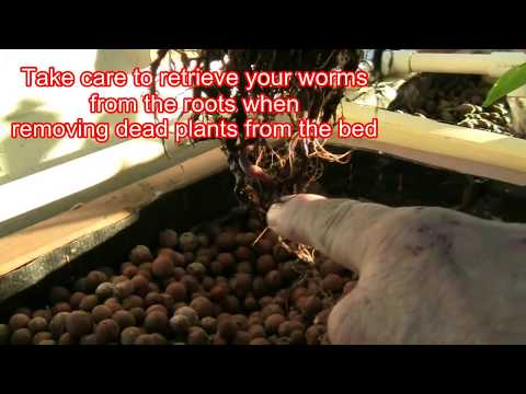 Adding Worms to Aquaponic Beds