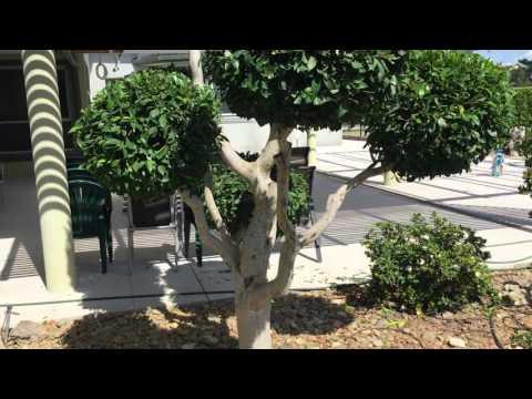 Ficus tree balls