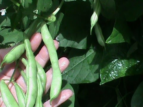 How to Cook Green Beans from the Garden