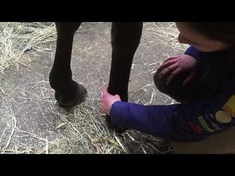 How to take your horse's digital pulse