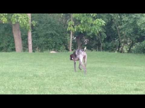 Benelli the German Shorthaired Pointer with the Robin in the backyard!