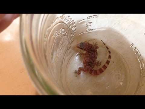 Examining a Mediterranean house gecko [Hemidactylus turcicus]
