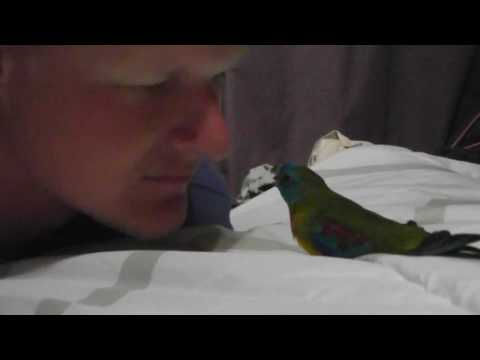 Small Parrot Attacks Big Nose... AGAIN!