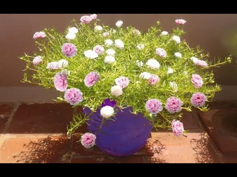 How to grow White and  Pink bicolor-Table Rose-Moss Rose-Portulaca Grandiflora-Japanese rose..