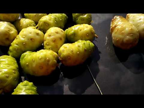 Noni Fruit/ fermenting for juice