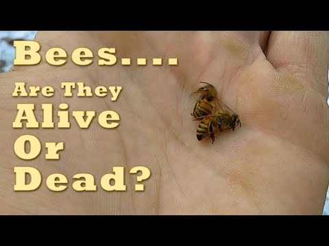 Bees...Are They Alive Or Dead? (Face Of Torpor)